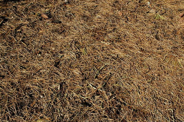 ground pine needles ground groundcover twigs forest floor