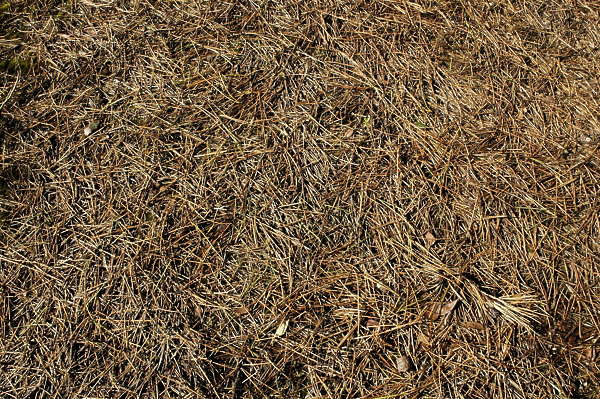 LeavesDead0005 - Free Background Texture - ground pine ...