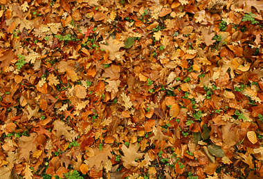leaves forest floor leaf ground oak