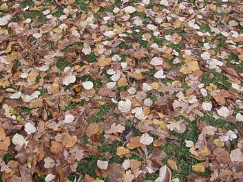 leaf leaves groundcover dead