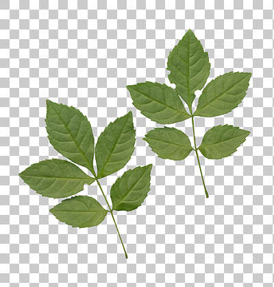 plant leaves leaf isolated masked