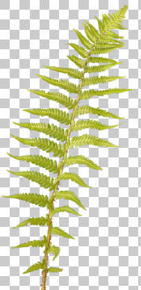 leaf masked alpha isolated fern