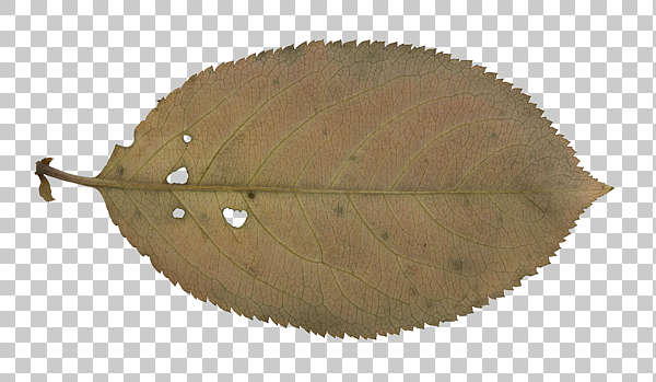 leaf masked alpha isolated old
