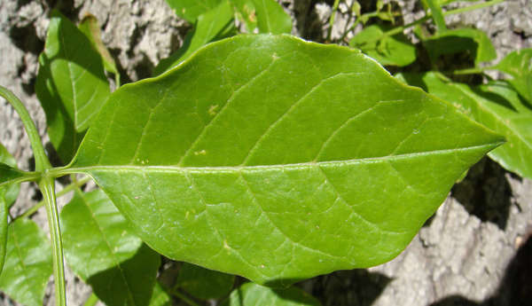 leaf leaves