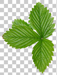 leaf leaves closeup green isolated masked