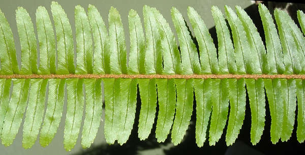 leaf fern leaves plant closeup