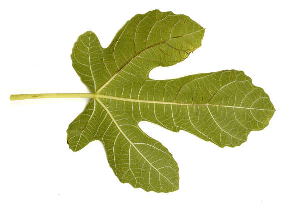 leaf leaves fig isolated masked