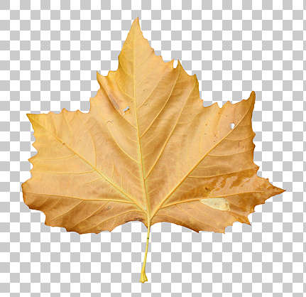 leaf maple back front isolated masked