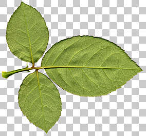 rose leaf leaves isolated masked