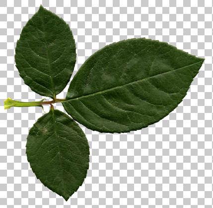 Leaves0126 Free Background Texture Rose Leaf Leaves