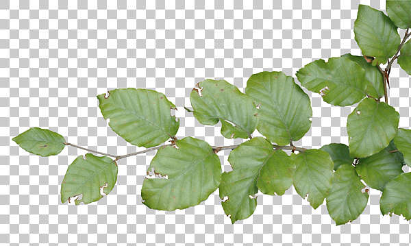 leaf leaves closeup branch isolated masked