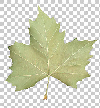 leaf leaves closeup isolated masked