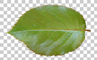 leaf leaves isolated masked