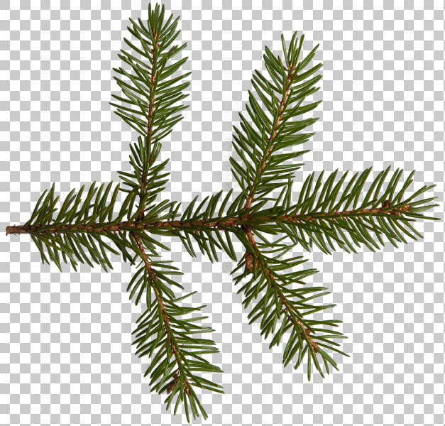 Leaves0142 Free Background Texture Pine Spruce Leaf