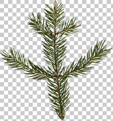 pine spruce leaf needles tree isolated masked