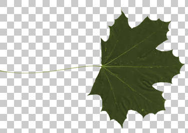 leaf masked maple isolated masked