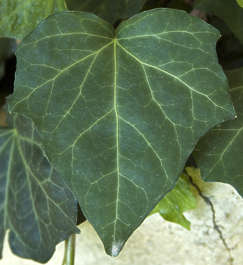 leaf leaves closeup