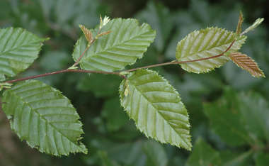 leaf leaves closeup branch