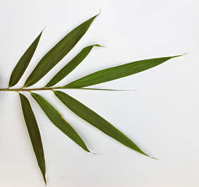 leaf leaves bamboo closeup isolated masked