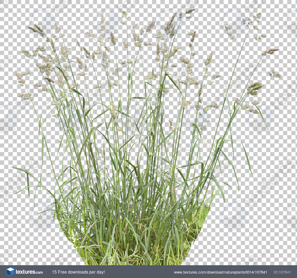 Tall grass texture alpha images for Long grass plants