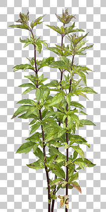 plant masked alpha foliage weed isolated