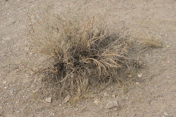 USA Bodie ghosttown ghost town old western goldrush desert arid plant dry dried