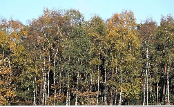 Trees0005 Free Background Texture Forest Treeline