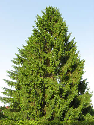 tree evergreen