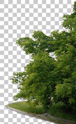 Trees0015 Free Background Texture Tree Leaves Alpha