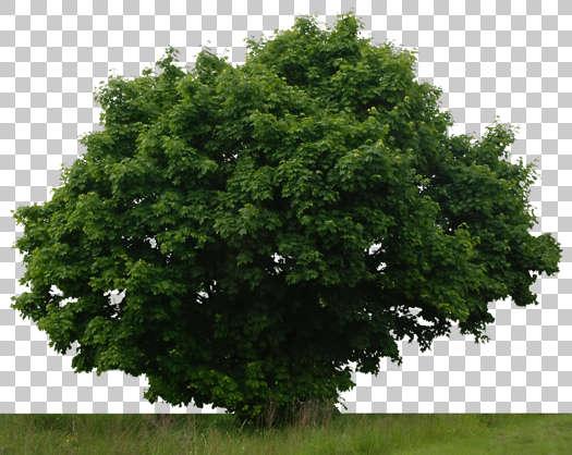 Trees0029 - Free Background Texture - plant foliage shrub ...