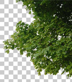 tree leaves alpha masked branch isolated