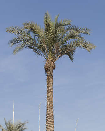 saudi arabia dubai palm palmtree tree