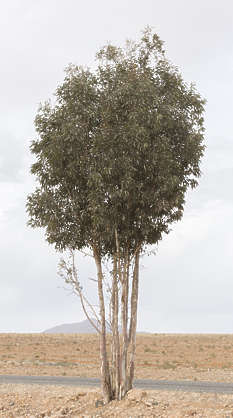 morocco tree bush