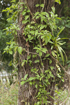 jungle tropical foliage plant creeper