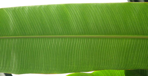 leaf tropical large big closeup stem