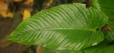 leaf tropical long