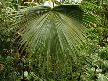 leaf tropical palm