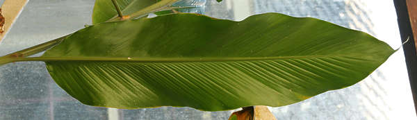 leaf tropical palm banana big long