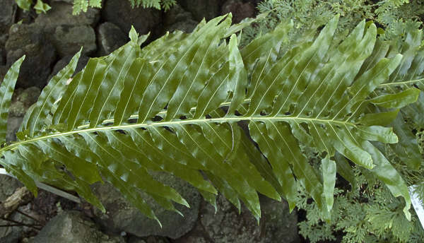leaf tropical fern