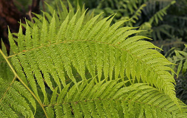 fern foliage ferns leaf leaves