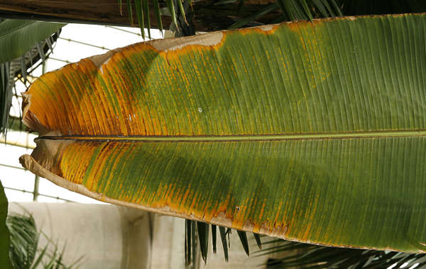 leaf tropical banana long dead dry