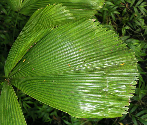 tropical leaf plant