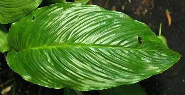 tropical leaf plant long