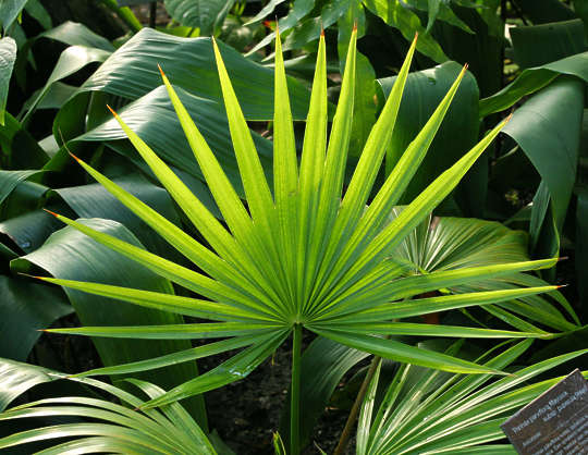 Leavestropical0233 Free Background Texture Tropical Leaf Plant Palm Green Alpha Masked Photo (la cool & chic). tropical leaf plant palm green alpha masked