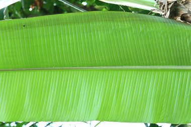 tropical leaf plant banana palm closeup