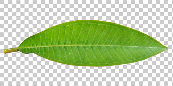 leaf long tropical