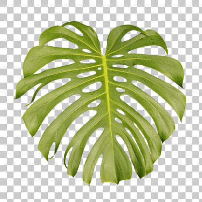 leaf tropical