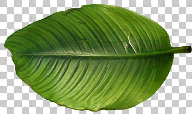 tropical leaf big plant