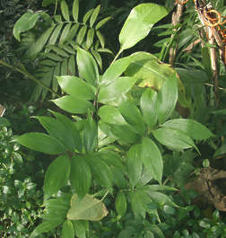 leaf leaves plant tropical