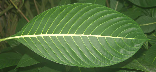 leaves closeup tropical